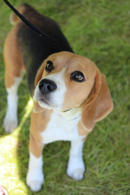 Anna is a Beagle owned by Suzanne Thomas