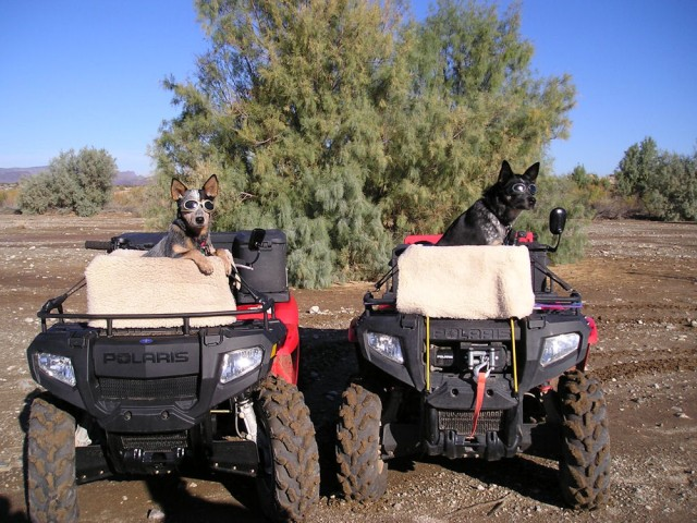 Australian Cattle Dogs Cowgirl and Zuie sporting their doggles. Cowgirl (right), a rescue mix has ridden over 13000 miles and Zuie (left), a purebred has ridden about 7,000 miles on ATV's.  Owned by Jean Focke