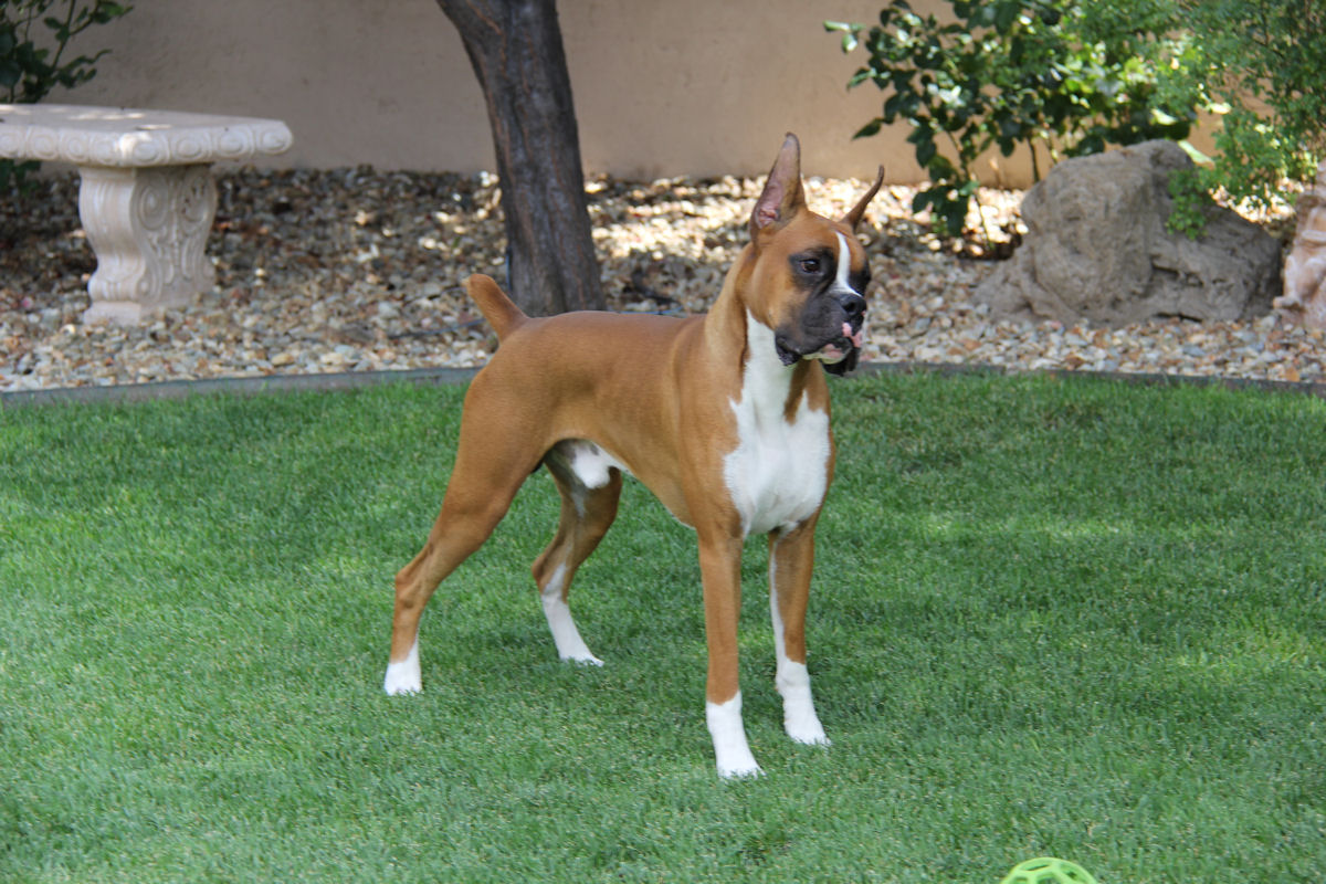Joss,Desert's Eye of the Tiger, enjoying an afternoon on the grass. Joss is a boxer owned by Ginger Bice.