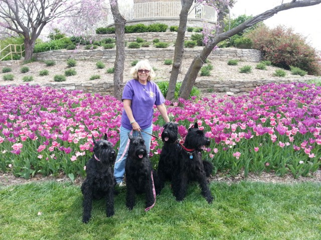 Team Stonehouse with Kim Demchek. Kim showed this team of Giant Schnauzers at the Specialty in June 2013.